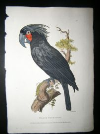 Shaw C1800's Antique Hand Col Bird Print. Black Cockatoo